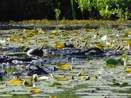 Jacobs Pond Turtles.jpg