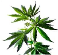 cannabis leaf-1