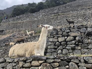 Llama sitting on stonework in Peru